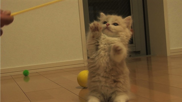 短足なマンチカンが可愛すぎる猫画像22選☆
