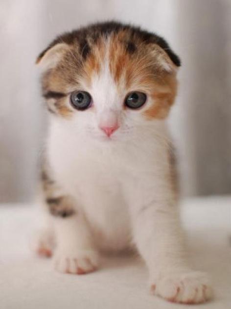 とっても甘えん坊なスコティッシュフォールドが可愛い猫画像22選!!