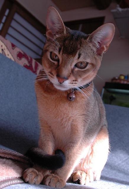 お耳の大きなアビシニアンが可愛い・猫画像22選☆