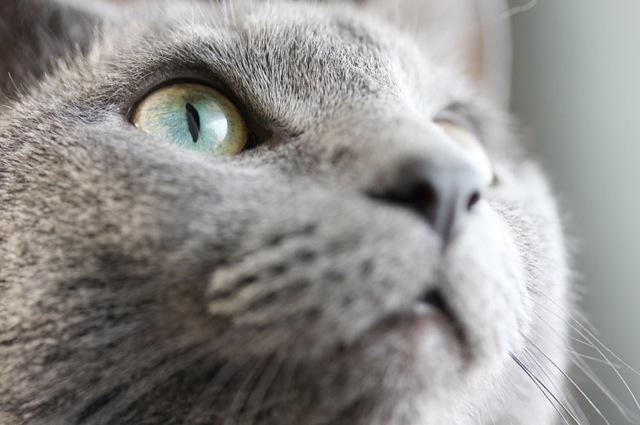 ロシアンブルーがめちゃくちゃ可愛い・猫画像22選☆