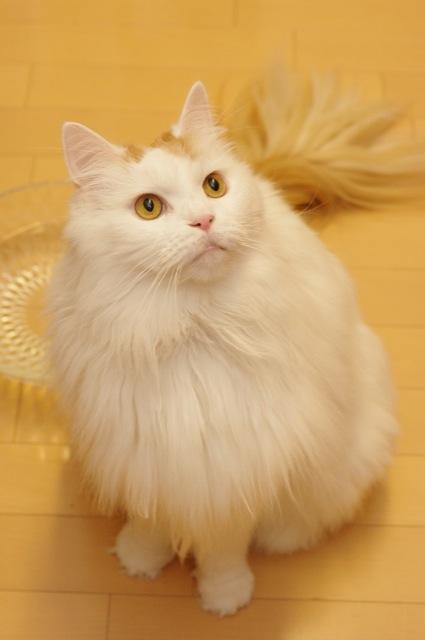 っかいモフモフ☆メインクーンのふさふさ猫画像22選!!