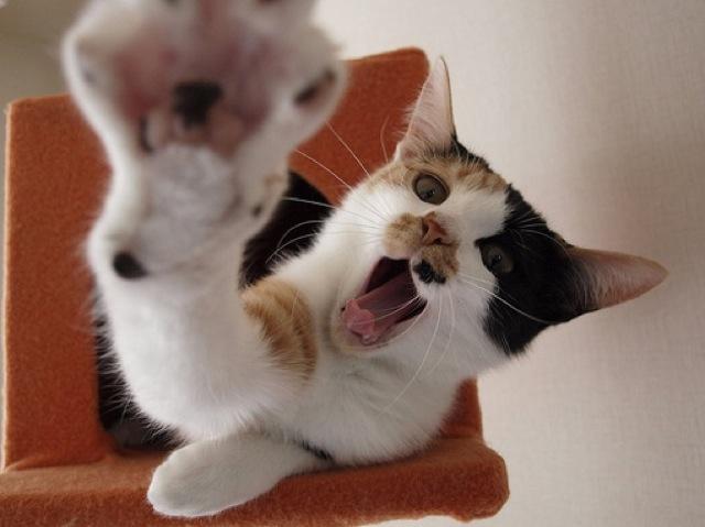 日本の猫の代表っていったら、やっぱり三毛猫ですよねっ☆(o゚∀`o)アヒャッ━♪「ワタシたち、美人ばっかりなの。だって、三毛猫にオスはいないんだ・か・らvv」そうなんです。ミケちゃんにオスはいない、というのはもはや常識!もしオスのミケにゃんこを見つけたら、ぜひお知らせください。とびきりド級の珍しさっ((・´∀`・))ンフッ♪そんなキュートな三毛ちゃんたちは、実は表情豊かな肝っ玉にゃんこ。白、黒、茶の3色が定番で、3色アイスや3色団子を思い出させる・・・うう、おいしそうでとってもかわいい☆でも、その模様は猫それぞれ。顔が3色だったり、全体を見るとほとんど白なのに、きちんと色が入っていたり・・・。3色の割り合いやカラーの入っている部分で、まったく違う印象なのが魅力ですよね。そんなかわいい三毛猫22枚、選んできました〜!楽しんでくださいねっ(〃艸〃)ムフッ 三毛猫がやたらと可愛い猫画像22選!!
