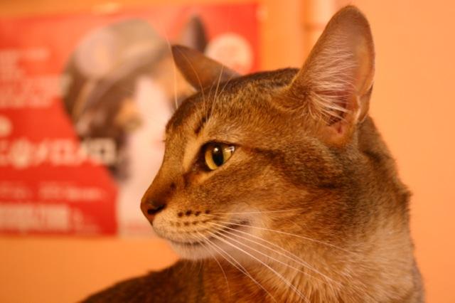 エジプト神っぽい猫の横顔
