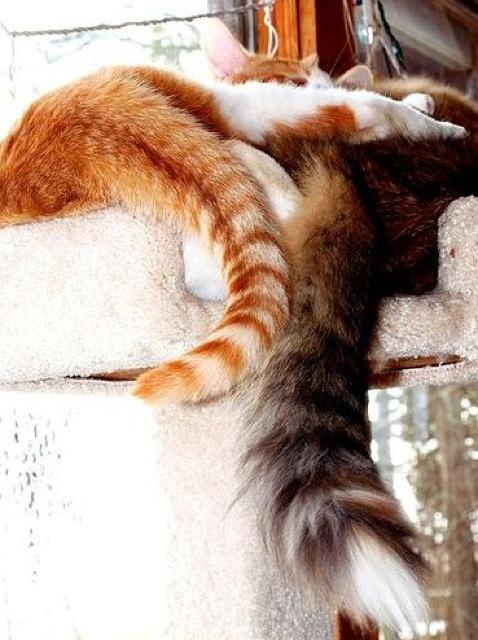 ねこのしっぽがふわふわして気持ち良さそうな猫画像22選!!