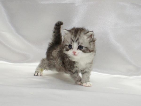 足が短くて劇的に可愛い☆マンチカンの猫画像22選!!