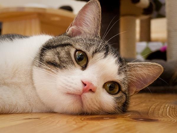 子猫のマンチカンもいいですが大人のマンチカンも負けてないぞっと主張しております(笑)