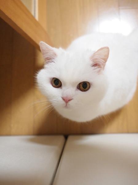 白猫が天使のようにかわいい☆癒しの猫画像22選!!