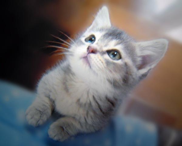 足が短くて劇的に可愛い☆マンチカンの猫画像22選!
