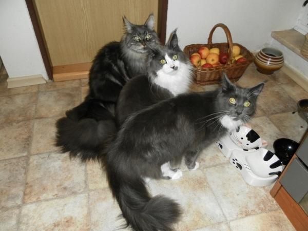 遊ぶの大好き♪メインクーンが集まる、猫画像20選!!