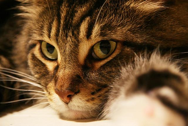 のんびり癒される、ブリティッシュショートヘアの猫画像20選☆