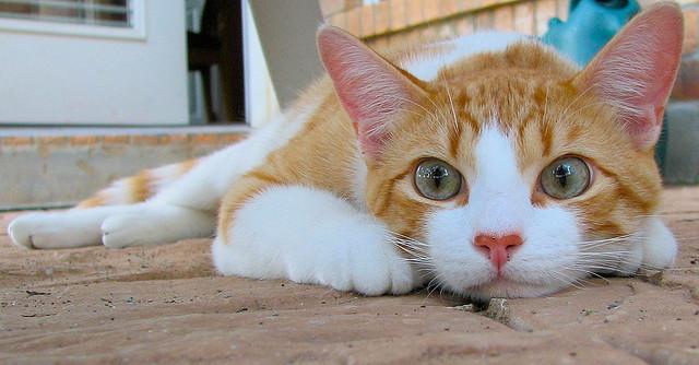 びっくりするほど可愛いペルシャ猫が集まる、猫画像20選!!