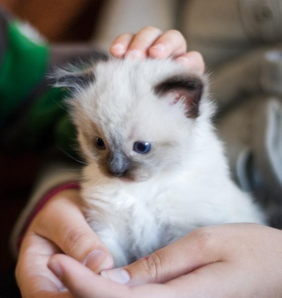 キュートな瞳におもわず癒される、ラグドールの猫画像20選!!