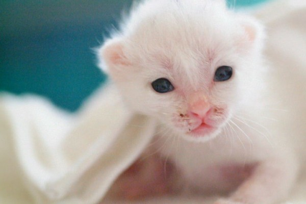 赤ちゃんの猫を扱うときに必ず守ってほしい7つのこと