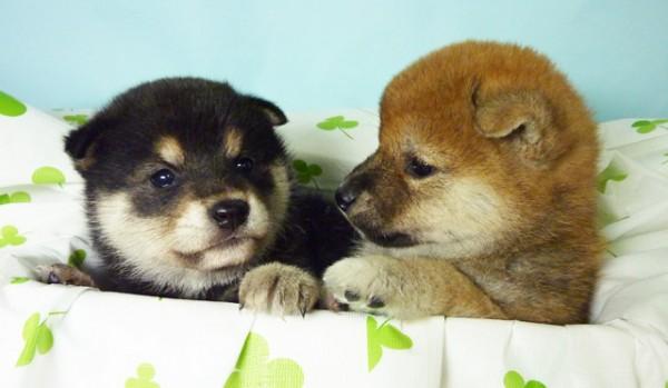 柴犬の飼い方、犬の性格に合わせた7つの飼育ポイント