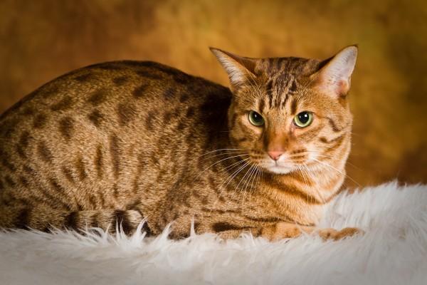 オシキャットが猫好きの人に愛される7つの理由