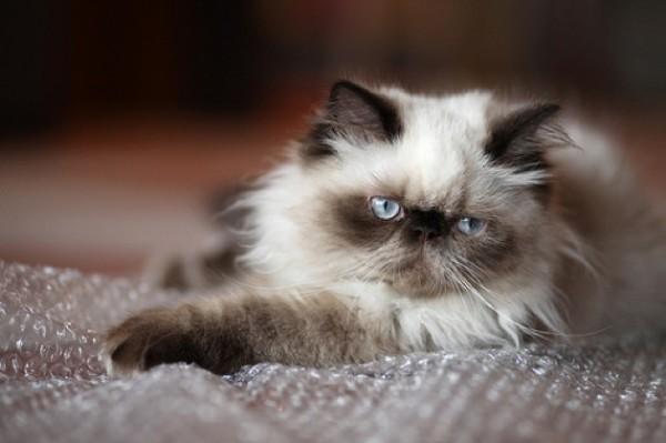 ヒマラヤン好きの為に見てほしいかわいい11つの猫画像
