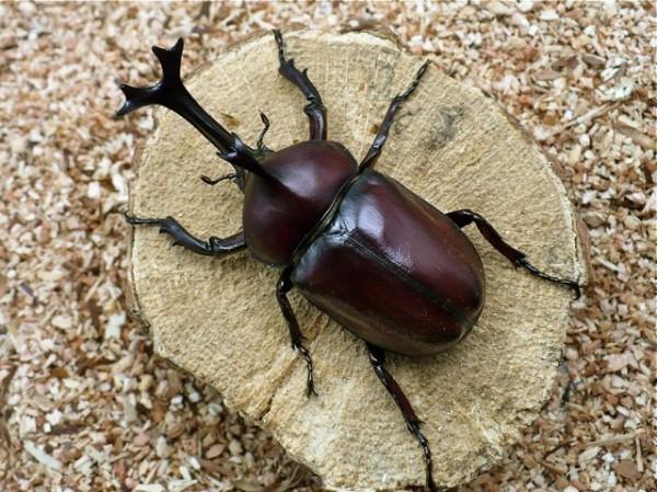 カブトムシの幼虫から飼育するための7つの方法