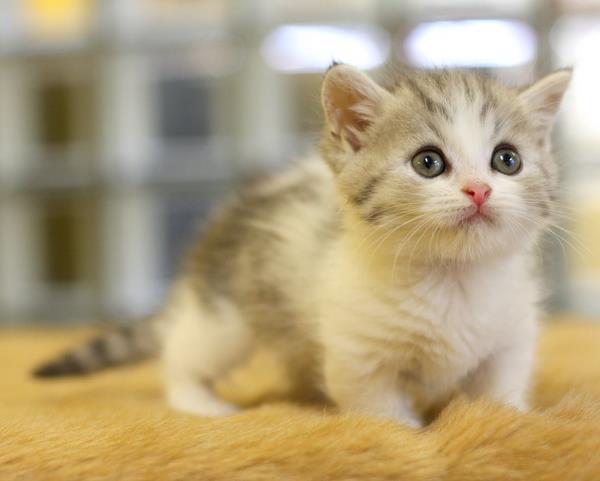【猫】マンチカンの子猫についてまとめ!