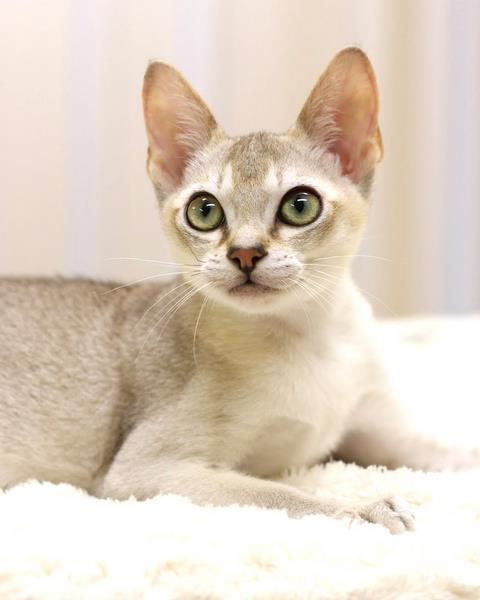 最少の猫、シンガプーラをGETできる7つのショップ