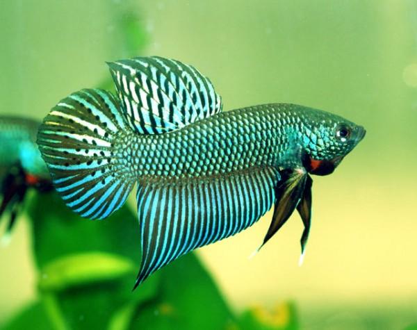 戦う魚ベタの飼い方で注意するべき7つのポイント