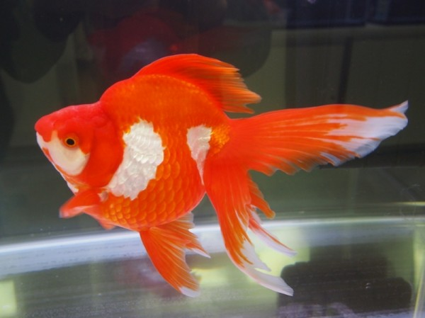 金魚の飼い方で知っておいてほしい7つの基本事項 金魚の飼い方で知っておいてほしい7つの基本事項