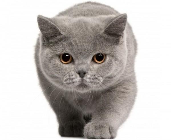 ブリティッシュショートヘアの子猫ばかり、11画像集☆