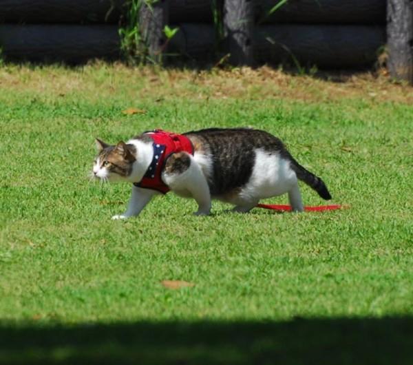 猫を散歩に連れていくときに注意しておきたい7つの事