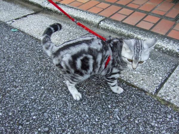 猫が散歩好きになるために試してほしい7つの事