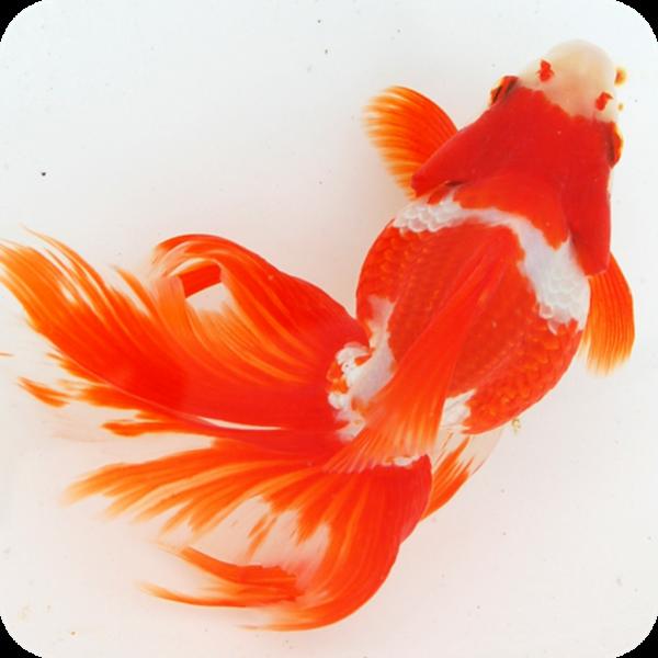 長寿にするための金魚の育て方気を付けたい7つの事