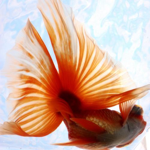 金魚の飼い方は難しい?知っておきたい金魚のあるある。