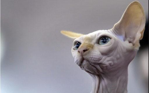 スフィンクスは他の猫と違う飼い方が必要!その理由とは