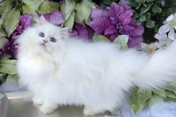 ペルシャ猫をじっくり堪能できる厳選11画像集