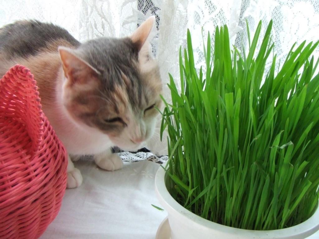 知っておくと得をする。猫草の上手な与え方とその効用
