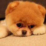 犬の画像を見て萌えよう★かわいいわんちゃん11連発