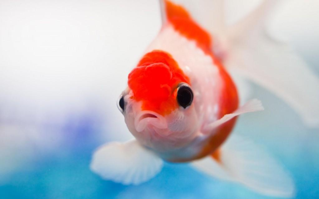 金魚の飼い方で注意するべき7つのポイント