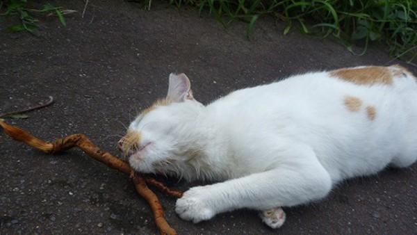 猫のストレスを軽減!またたびが超有効である7つの理由