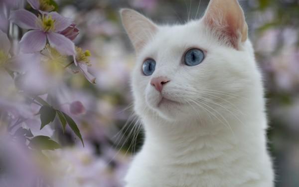 やっぱり白猫が好き☆かわいい白猫画像、大放出!!