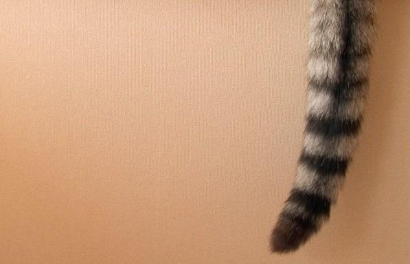 猫のしっぽで心を読み取る7つの猫心理