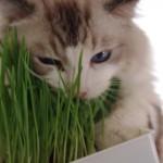 猫草はどうして猫にいいのか。7つの理由と使い方