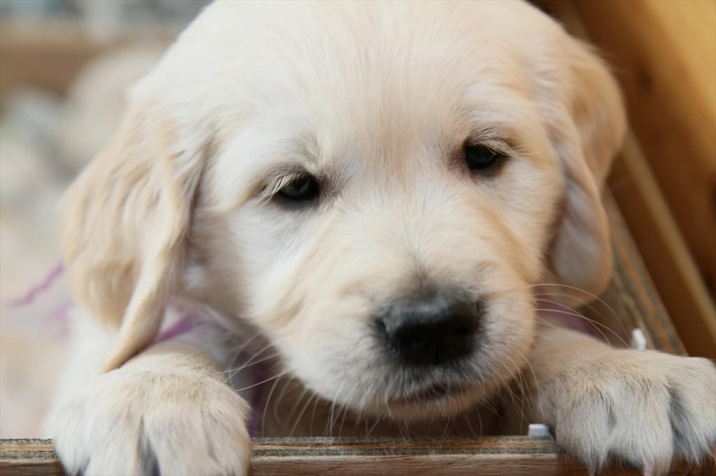 仔犬の里親を見つけよう。おすすめしたい里親募集掲示板