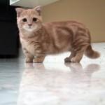 猫のマンチカンが人気な理由を7つあげてみました