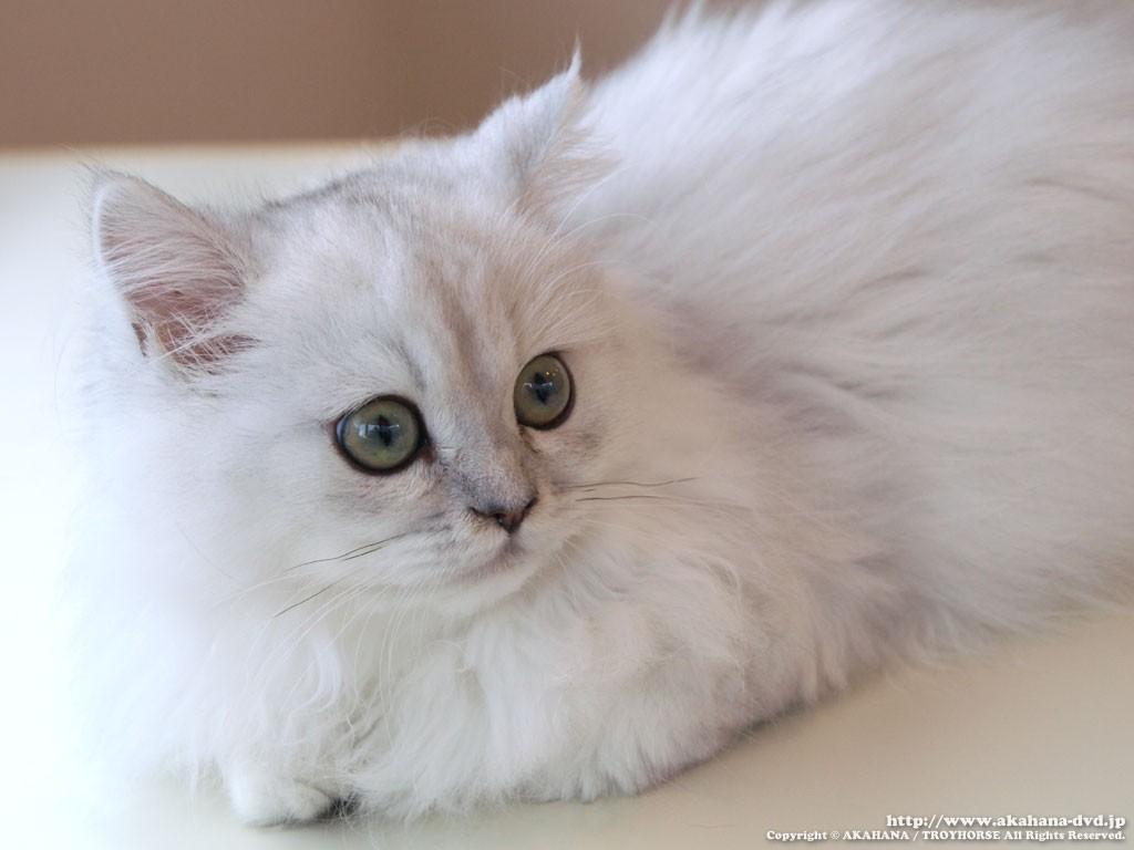 チンチラ猫が丸分かり☆その特徴と性格を徹底解剖