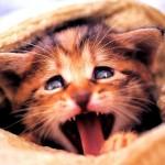 猫の鳴き声博士になろう。7つの鳴き方徹底検証