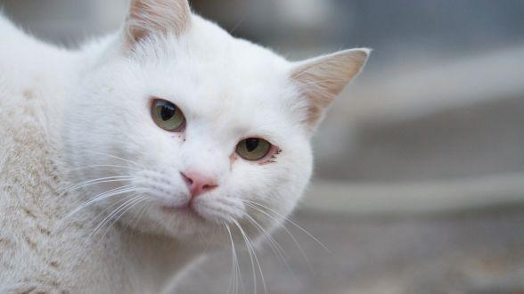 なんでだろう?白猫がかわいいと言われる5つの理由