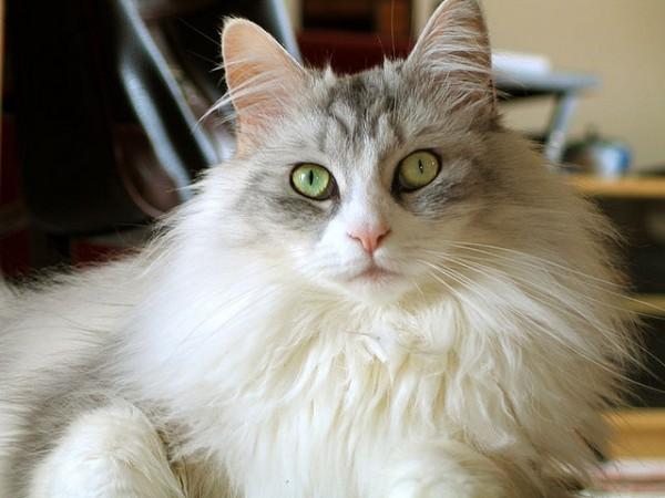 メインクーンが猫好きに愛される7つの理由とは