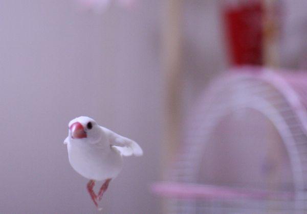 文鳥の性格と飼い方を7つの視点から徹底解剖
