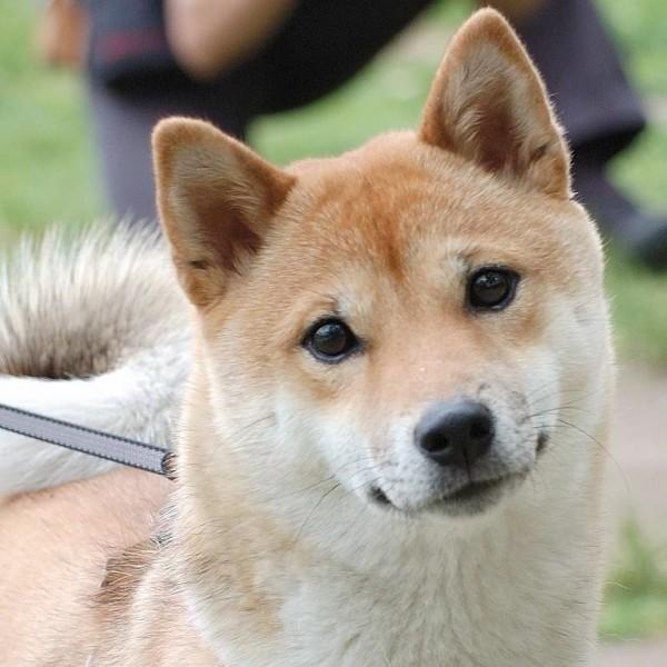 愛くるしい表情の柴犬
