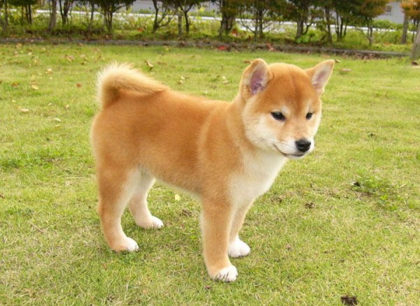 かわいい柴犬の飼い方☆他の犬と違った点を7つご紹介