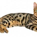 ベンガル猫の知られざる一面を歴史から性格まで徹底解析