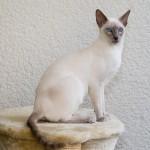 シャム猫の知られざる一面、歴史から性格まで徹底解析